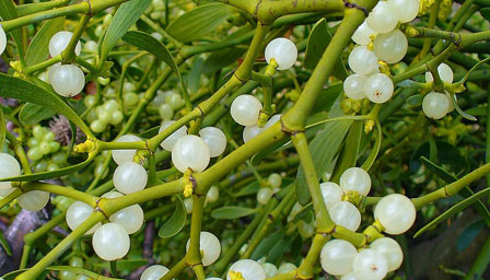 Mistletoe Its History Meaning And Traditions