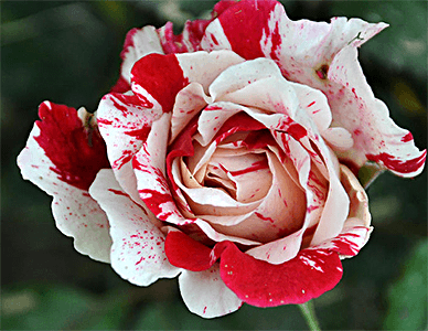 it christmas rose - Red Christmas Flowers