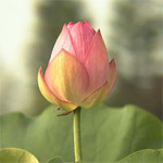 National Flower of India - Lotus