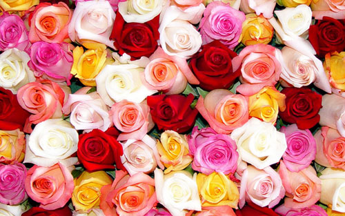 valentine's day flowers | meanings of different colors of roses, Ideas